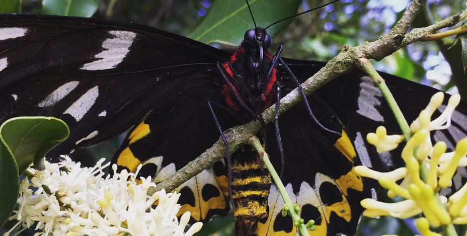 Wondaree Macadamias | Birdwing Butterfly