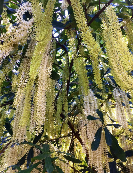 Wondaree macadamias flowering