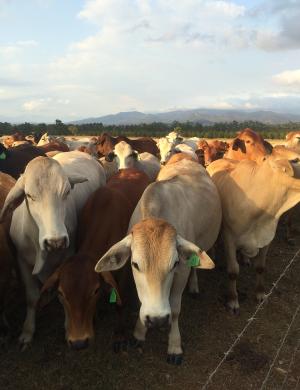 Wondaree Cows on the Farm